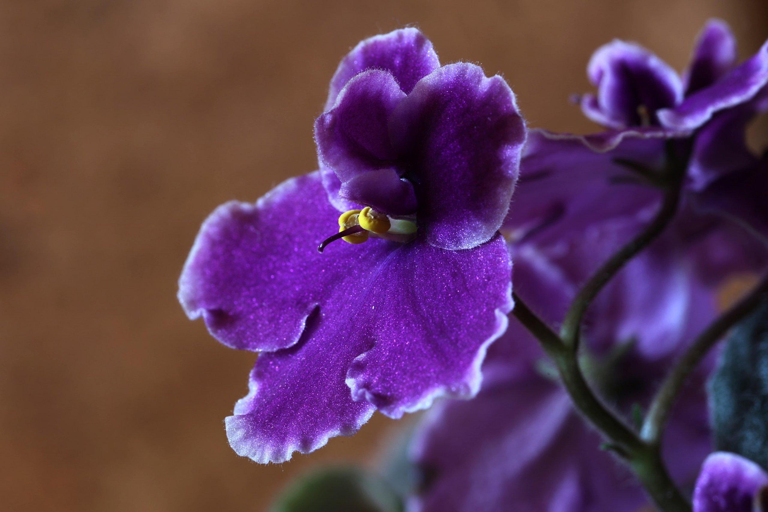 Kdo by nemiloval africké fialky? Se svými barevnými květy a sametovými listy zkrášlí okenní parapet i ve chvíli, kdy za okny vládne sychravé počasí. V 19. století je z Afriky do Evropy přivezl baron Walter von Saint Paul-Illair. U nás tak pod jeho jménem dělají radost dodnes. Saintpaulia ionantha přitom vůbec není náročná na pěstování. Stačí trocha péče - a záplava pestrobarevných květů ozdobí i vaše okna.