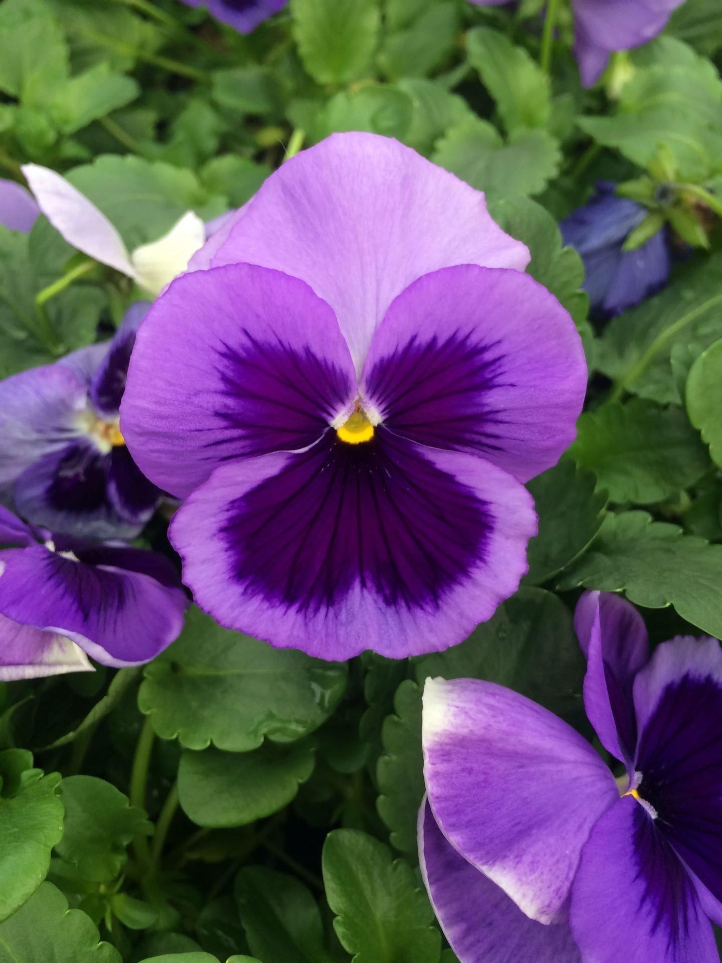 Africké fialky – nenáročné krásky z Tanzanie