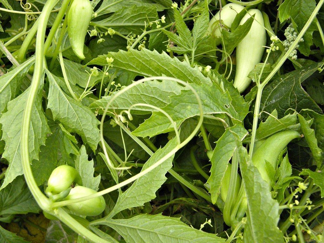 Právě teď nastává vhodná doba pro výsev ačokči neboli paprikookurky, která bývá označována také jako mexická okurka. Tahle ztracená plodina Inků, kteří ji začali pěstovat jako první, připomíná velké lusky a její chuť je někde na pomezí paprik a okurek. Díky své nenáročnosti na prostor se ačokča skvěle hodí do všech malých zahrad.