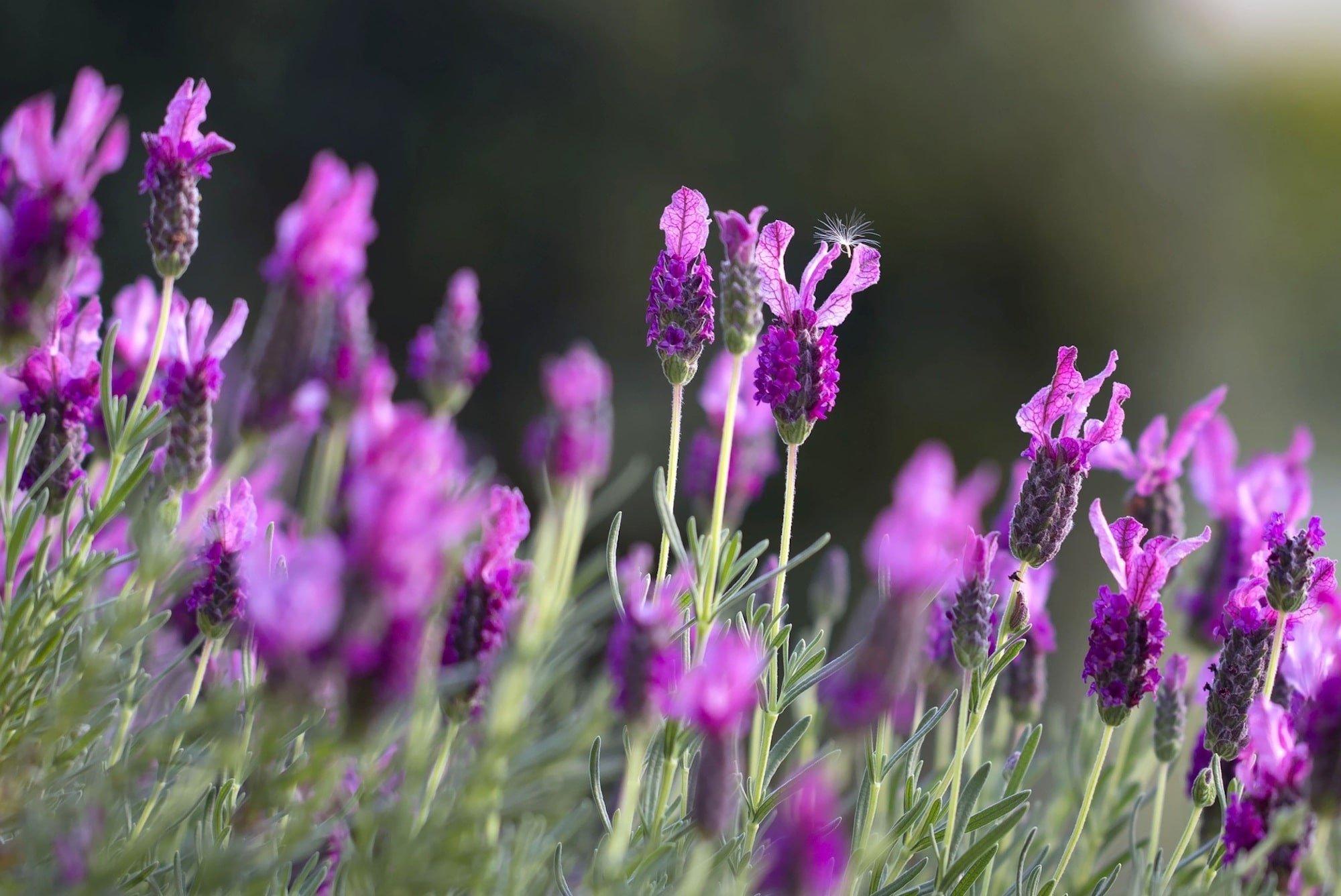 Levandule lékařská je pro své aroma velmi oblíbenou bylinou v kosmetice i lékařství.