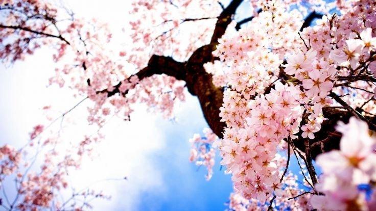 Japonské třešně si lidé zamilovali hlavně pro jejich růžové květy.
