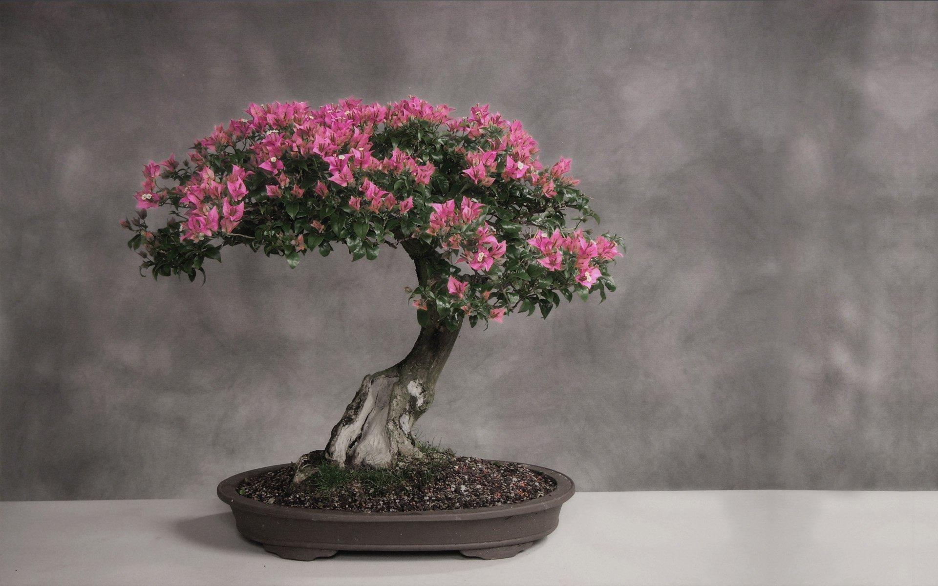 Sakury se pěstují i jako bonsaje.