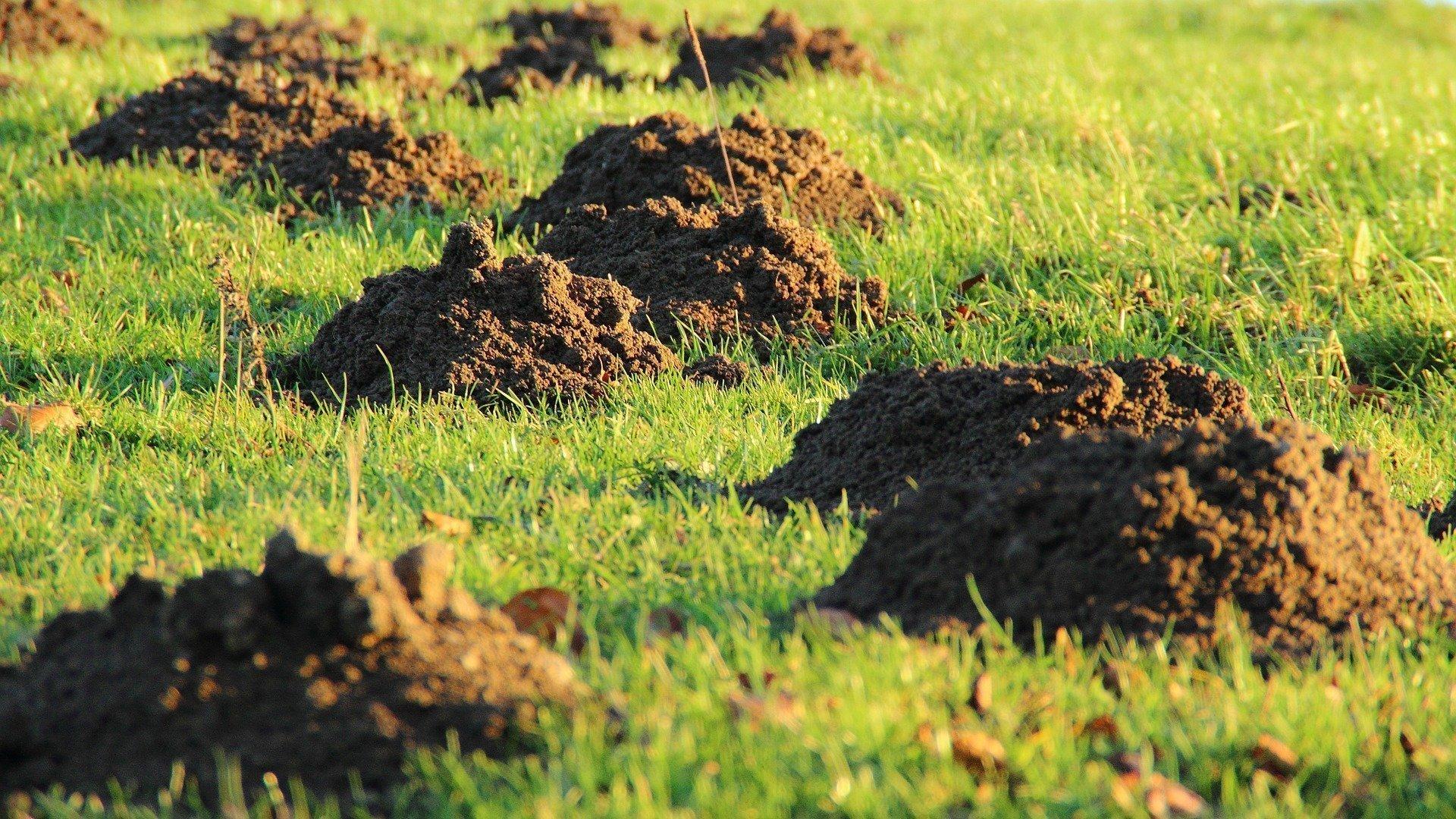 Jak se zbavit krtka v zahradě?