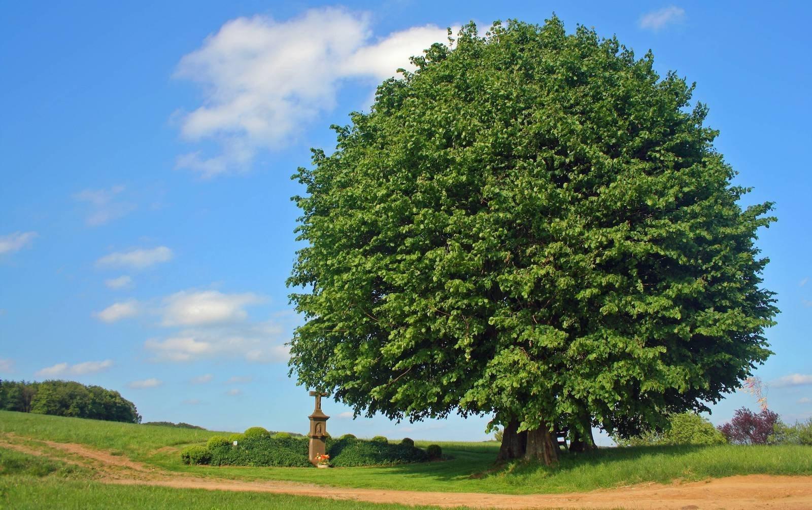 Za časů našich prababiček lidé žijící hlavně na venkově přisuzovali bylinám, keřům a stromům významné vlastnosti a dobře věděli o jejich léčivých účincích, o kterých my dnes už většinou máme jen povšechné tušení. Výběr bylin, květin či dřevin, jež do svých zahrádek vysazovali, nebyl zcela nahodilý a měl svá pravidla daná víceméně tradicí předávanou z generace na generaci. Pojďme si teď oživit tyhle zákonitosti a možná budete překvapeni, až odhalíte, jaké poklady na své zahrádce vlastně máte.