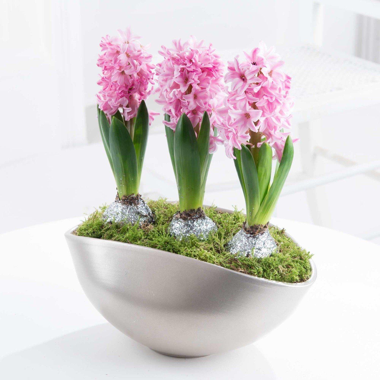 Budete-li mít v místnosti chladněji, vydrží hyacinty kvést déle
