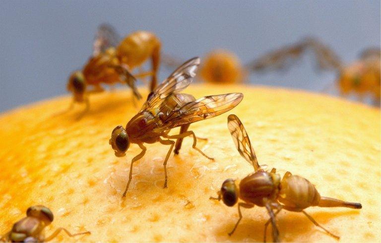 Tipy, jak se zbavit ovocných mušek neboli octomilek