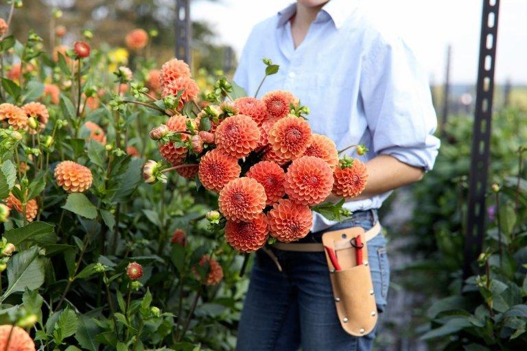 Jiřiny, tradiční květiny s nespočtem nových tváří