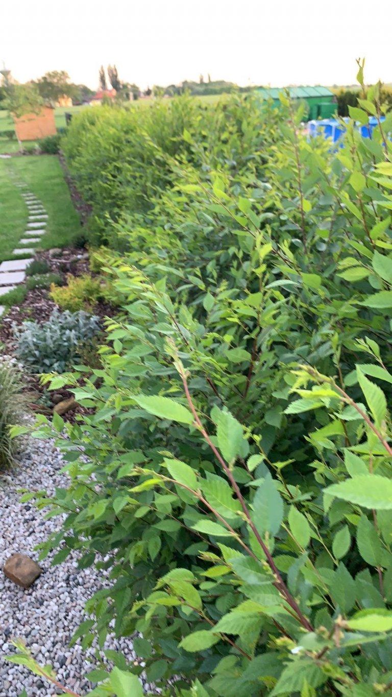 Neuvěřitelně rychle rostoucí živý plot