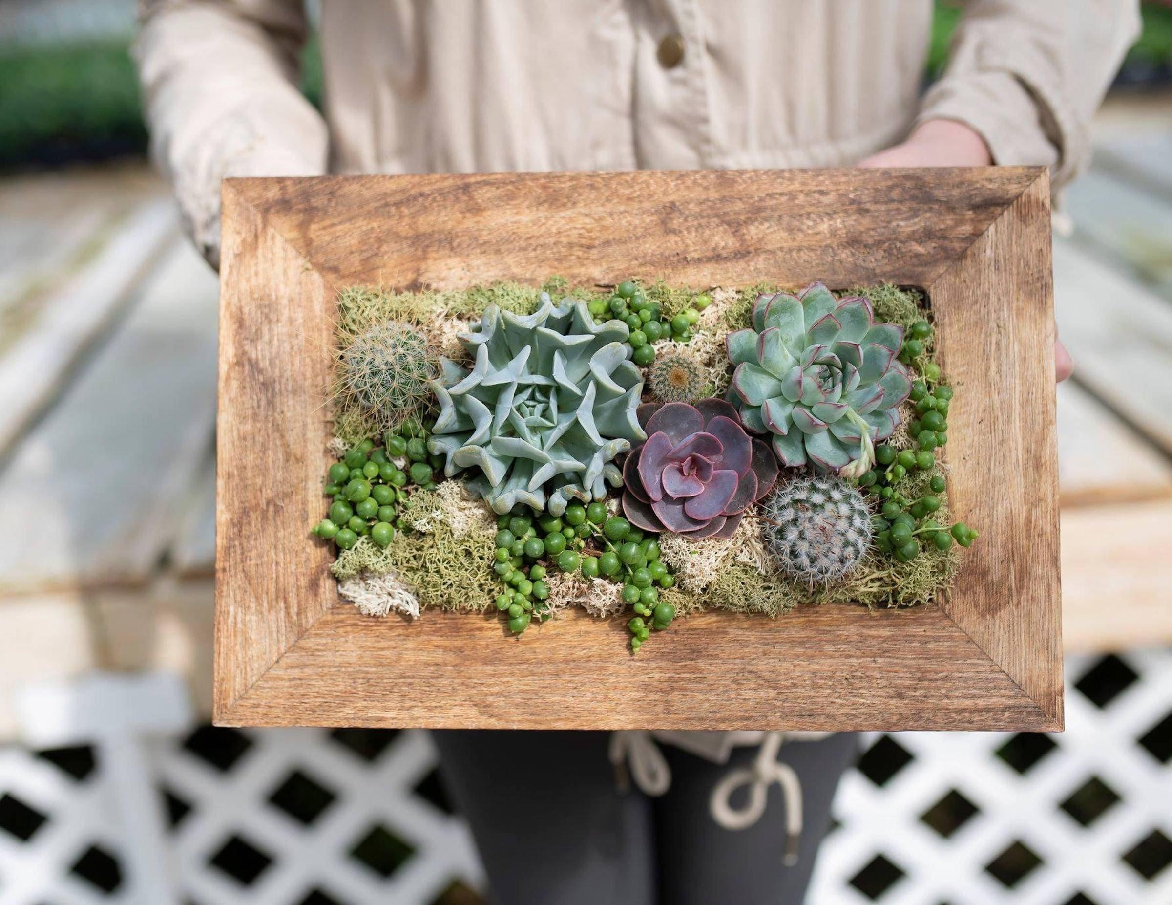 Živý obraz ze sukulentů, dekorace pro nadšené zahradníky a pěstitele