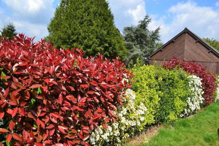 Dokážete si představit zahradu bez živého plotu? Zvlášť, pokud se nachází ve stísněné zástavbě? Živé ploty jsou skvělé a ty rychle rostoucí vám poskytnou za krátký čas soukromí i odhlučnění. Aby vám ale plot vyrostl rychle, je třeba vybrat správnou odrůdu.