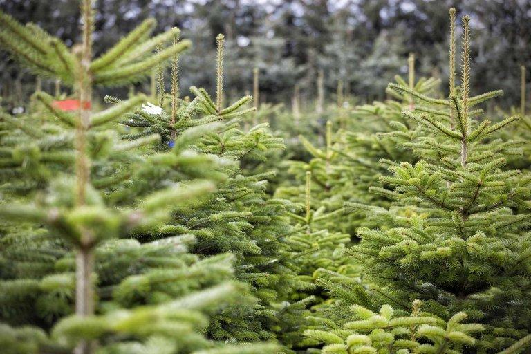 Víte, na co si dát pozor při nákupu vánočního stromku?