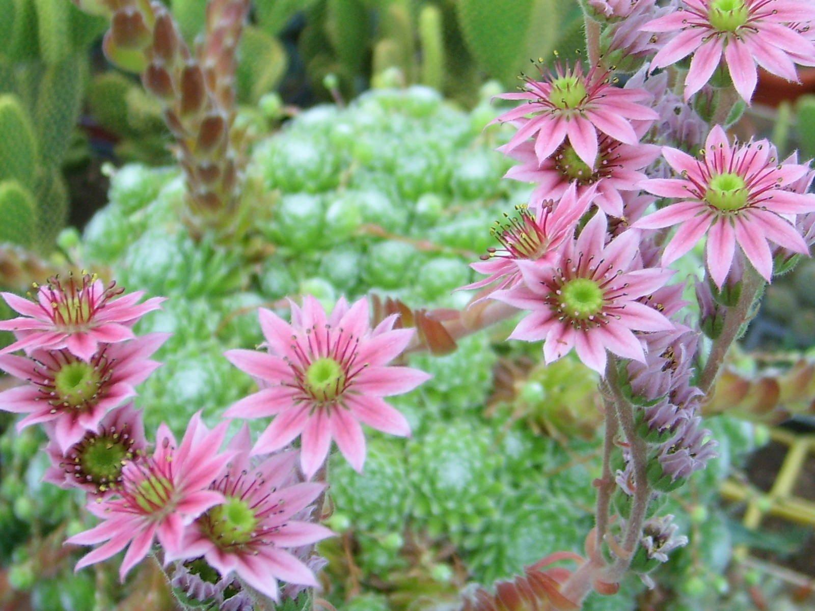 Nesmrtelné netřesky jsou vhodné i pro méně zdatné zahradníky